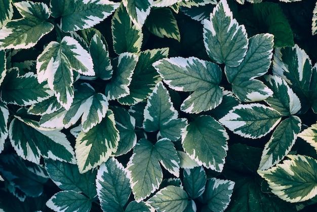 Grün lässt aegopodium podagraria
