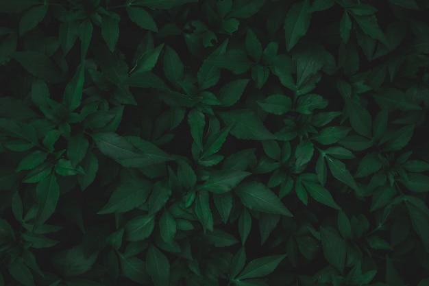 Grün lässt musterhintergrund. süßkartoffel verlässt dunkelgrünen tonhintergrund der natur.