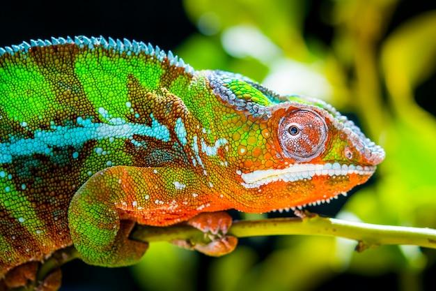 Grün mit orangefarbenem chamäleon in freier wildbahn thront auf einem ast, der seitwärts schaut