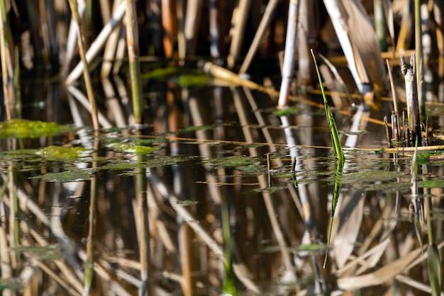 Grünalgen im teich