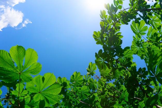 Grünblätter gegen blauen himmel, kastanienblätter und sonne in einem naturhintergrund