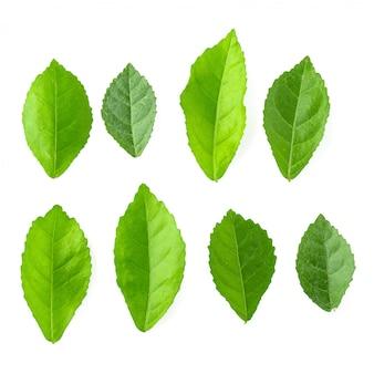 Grünblätter isoliert