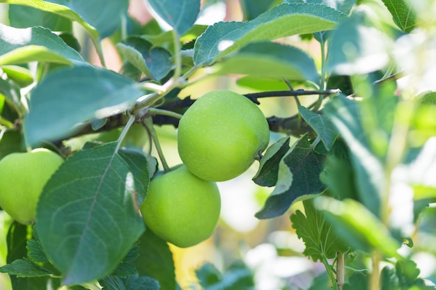 Grüne äpfel auf einem baum im garten.
