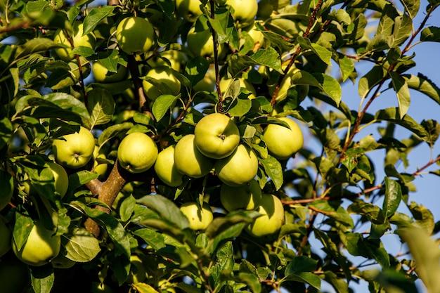 Grüne äpfel auf einem zweig im garten bereit, geerntet zu werden.