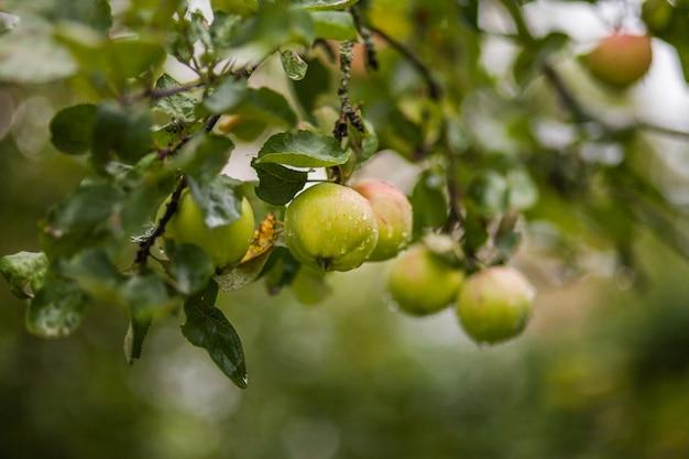 Grüne äpfel des gartens bedeckt mit regentropfen auf einer niederlassung.