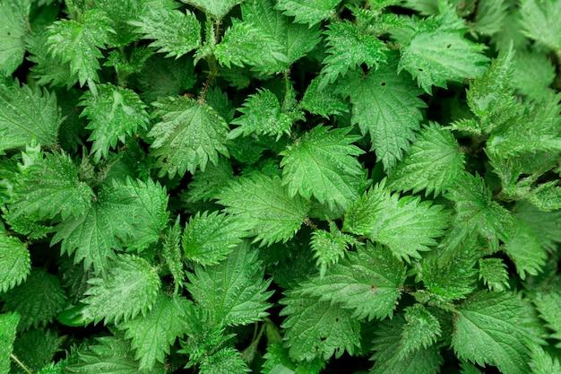 Grüne agrimonies blätter mit wassertropfen