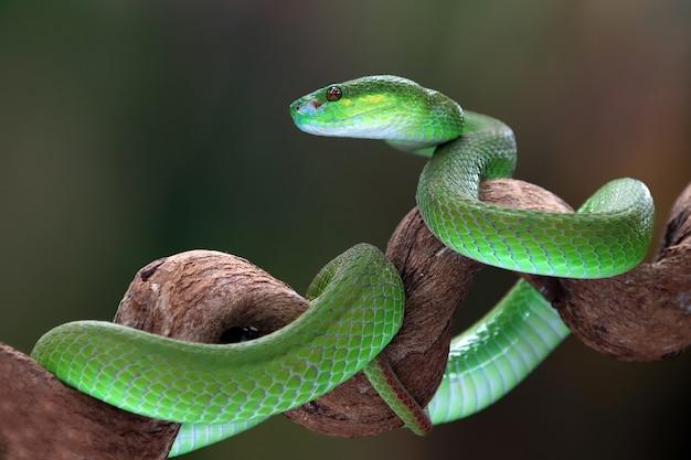 Grüne albolaris mit schwarzem hintergrund