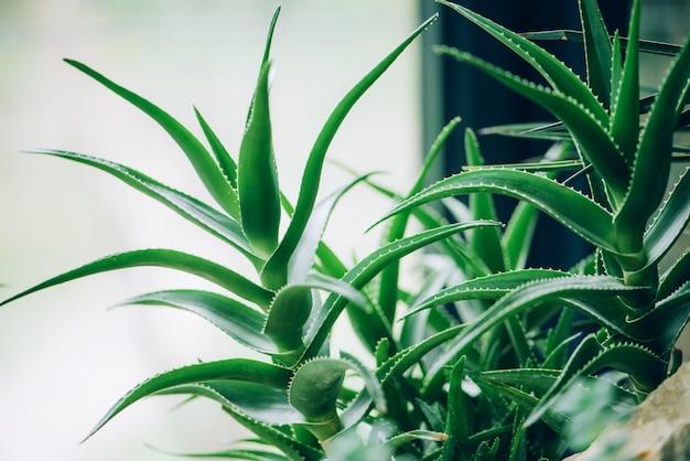 Grüne aloe vera pflanzen. tropische aloe. naturbauernhofgarten mit kräutermedizin