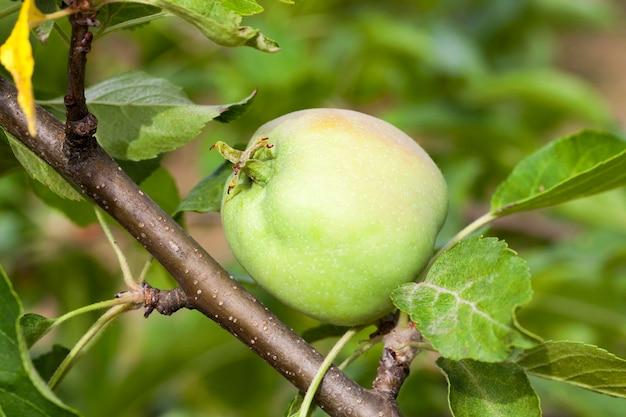 Grüne apfelblätter und äpfel wachsen auf dem territorium des obstgartens. nahaufnahme mit geringer schärfentiefe.
