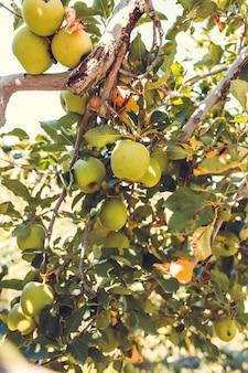 Grüne apfelfrüchte auf baum schließen oben