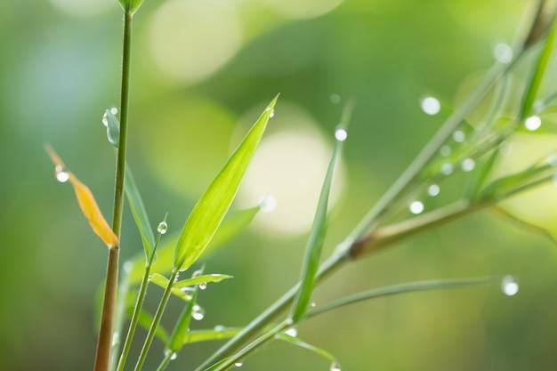 Grüne bambusfarbe in der natur, tau auf blatt