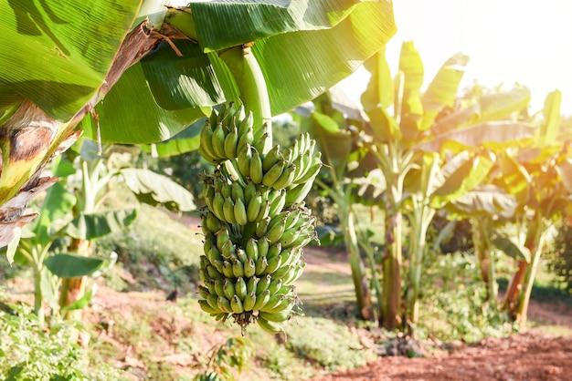 Grüne bananen im garten auf der bananenbaum-landwirtschaftsplantage in thailand-sommerfrucht