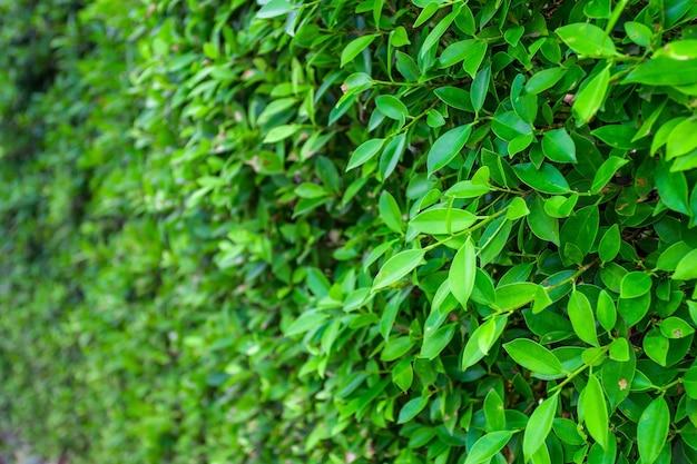 Grüne banyanblätter wand (baumwand) panorama verwendet als kunstwerk und hintergrund design natur hintergrund.