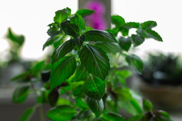Grüne basilikumpflanze im hausgarten auf der fensterbank auf fensterhintergrund