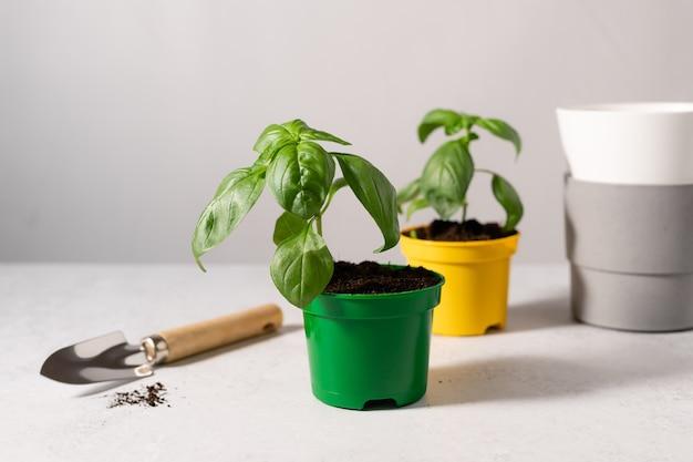 Grüne basilikumsetzlinge bereit zum einpflanzen in keramiktöpfe gartenarbeit zu hause