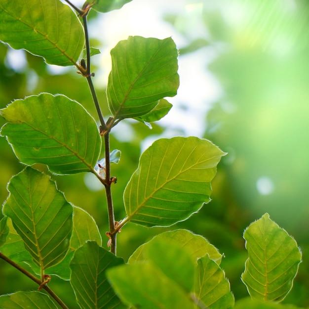 Grüne baumblätter gemasert in der natur im sommer, grüner hintergrund