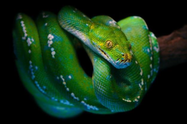Grüne baumpythonschlange oder chondro python von aru-insel