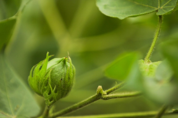 Grüne baumwollfarm Premium Fotos
