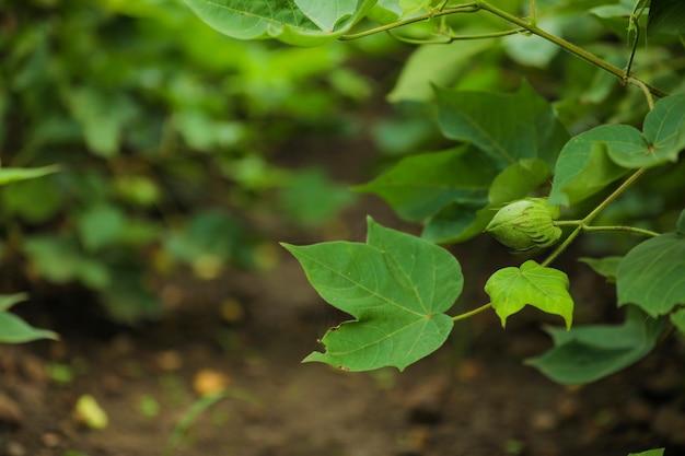 Grüne baumwollfrucht im baumwollfeld