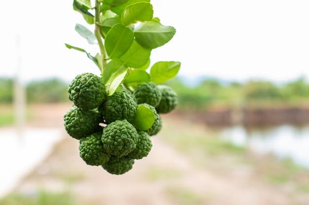 Grüne bergamotte auf baumunschärfennatur.