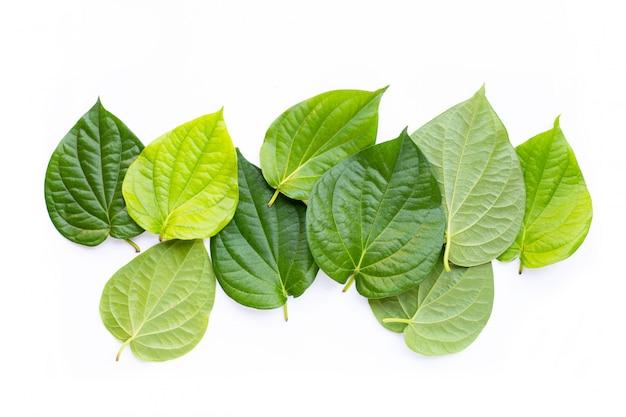 Grüne betelblätter, frischer pfeifer betle auf weißem hintergrund.