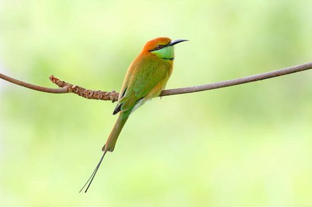 Grüne bienenfresser merops orientalis schöne vögel von thailand