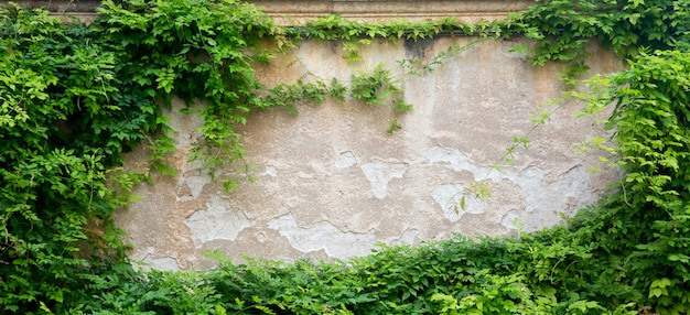 Grüne blätter an einer wand für hintergrund mit freiem raum.