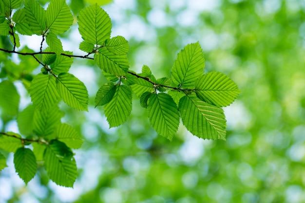 Grüne blätter auf dem sommerwald