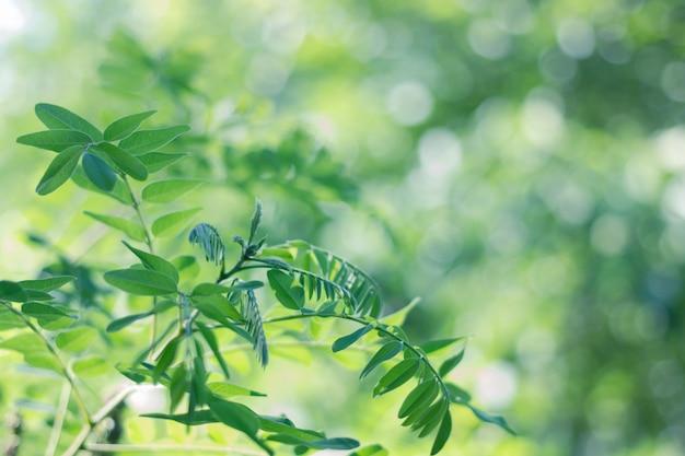 Grüne blätter der akazie