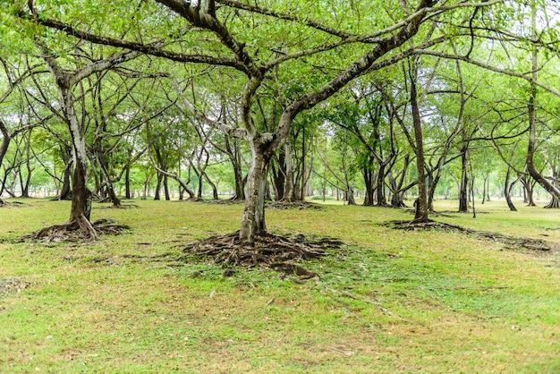 Grüne blätter der banyanbaumwurzel und beschaffenheit der barke