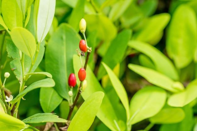 Grüne blätter der kokapflanze außerhalb
