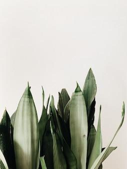 Grüne blätter der sansevieria-pflanze