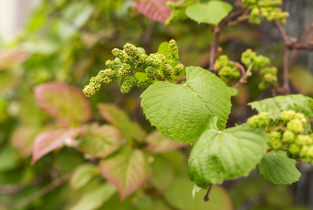 Grüne blätter der traube und kornnahaufnahme. sommer- oder frühlingssaisonhintergrund mit weinblättern. naturkonzept