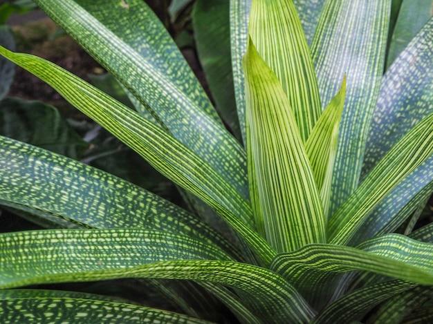 Grüne blätter des bromelienhintergrunds. grüne blätter textur. vriesea gigantea.