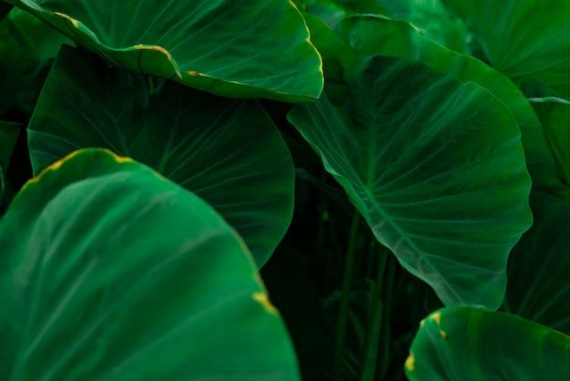 Grüne blätter des elefantenohrs im dschungel. grüne blattstruktur mit minimalem muster. grüne blätter im tropischen wald. botanischer garten. grüne tapete für spa.
