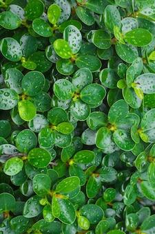 Grüne blätter des koreanischen banyanbaums mit regentropfen auf den blättern, die als hintergrund verwendet werden.