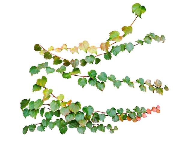 Grüne blätter efeu kletterpflanze isoliert auf weißem hintergrund mit beschneidungspfad