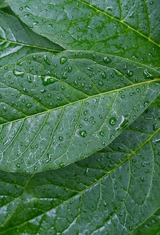 Grüne blätter einer pflanze oder eines strauchs, in tau, wassertropfen oder nach regen. die struktur des laubs. strukturierter hintergrund.
