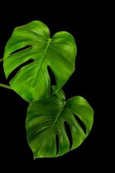 Grüne blätter einer tropischen monsterpflanze lokalisiert auf einer schwarzen wand