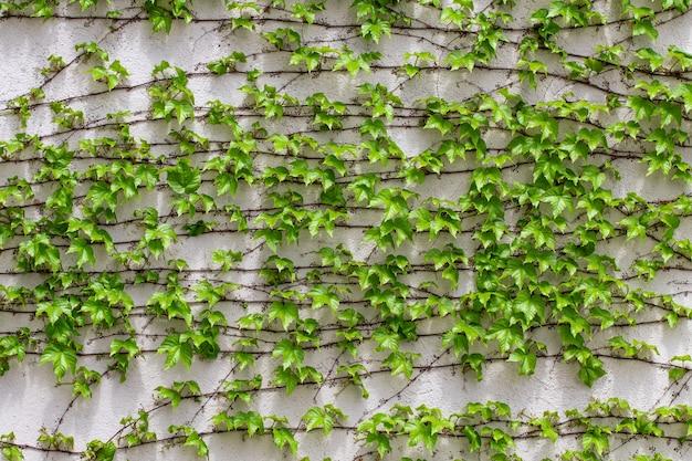 Grüne blätter. grüne blätter wandbeschaffenheit