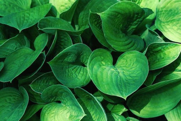 Grüne blätter hintergrund mit schatten und sonnenlichtflecken hosta-pflanze im sommer