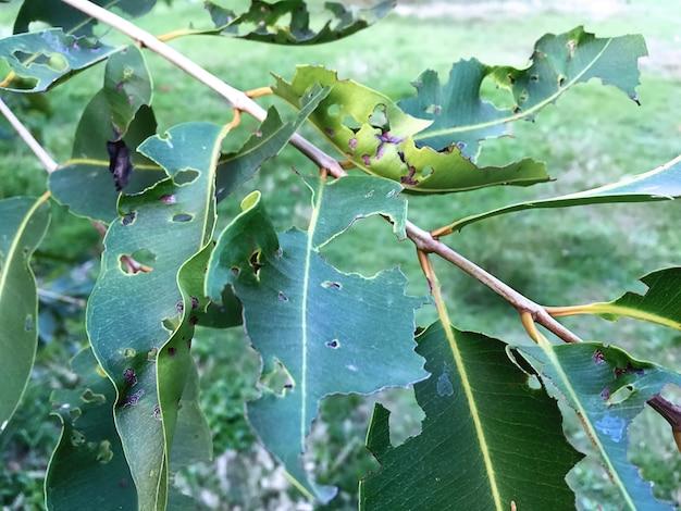 Grüne blätter mit löchern, gegessen von schädlingen und würmern