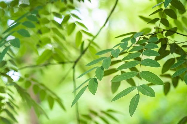 Grüne blätter mit sonnenlicht und schatten, sommerfrühlingsasche-laub-bokeh