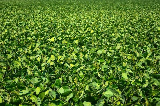 Grüne blätter und bohnen junger sojabohnen auf dem feld.