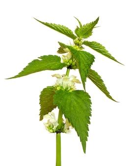 Grüne blätter und weiße brennnesselblüten auf einem weißen lokalisierten