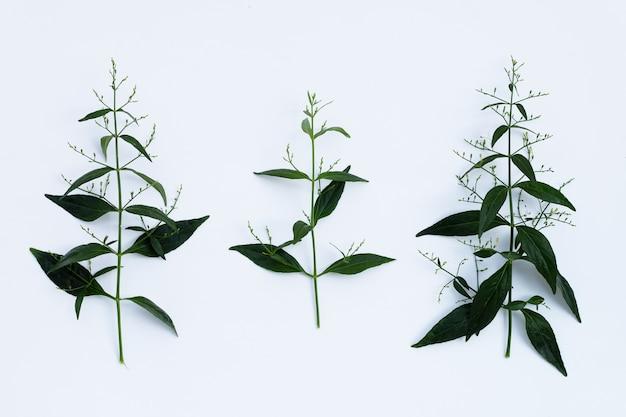 Grüne blätter von kariyat oder andrographis paniculata auf weißem hintergrund.