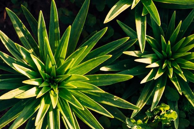 Grüne blätter von lilien in den strahlen der sonne. von oben betrachten. blätter in form von sternchen.