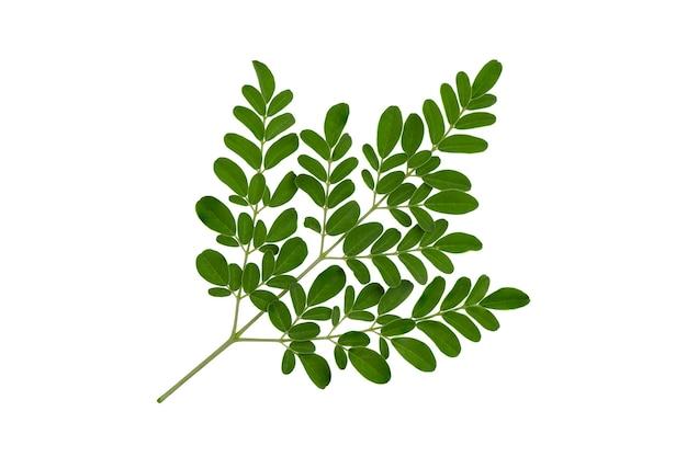 Grüne blätter von moringa lokalisiert auf weißem hintergrund mit beschneidungspfad. draufsicht, flache lage.