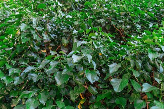 Grüne blätter wand textur hintergrund natürliche klettern efeu blätter wachsen an der wand oder zaun als
