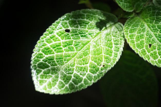 Grüne blattbeschaffenheit der nahaufnahme mit chlorophyll und prozess der photosynthese in der anlage lokalisiert auf schwarzem